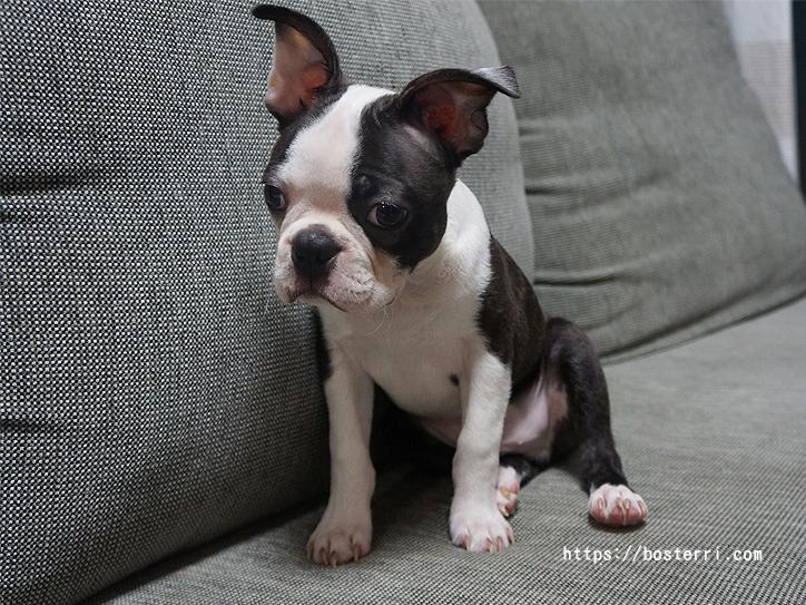 「子犬」と呼ぶのは何ヵ月まで?ボストンテリアBonの子犬期間を調べてみました