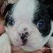 ボストンテリア子犬の鼻の色はいつ黒くなる?画像で検証してみました